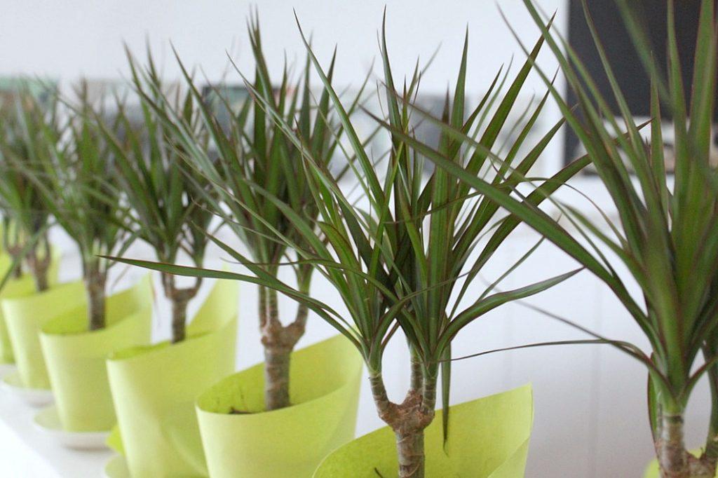 Viidakkosynttärit / palmuja (eli traakkipuita)